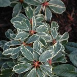 Variegated Rhododendrons Liven Up the Shade