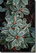 Post image for Variegated Rhododendrons Liven Up the Shade