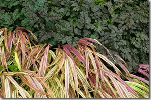 anthriscus-ravenswing-hakonechloa-aureola-late-october-05