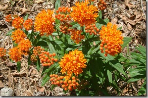 native_texas_plants_milkweed_houston