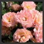 Drift Roses, the Dwarf Knockout Relative