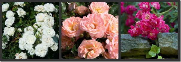 Post image for Drift Roses, the Dwarf Knockout Relative