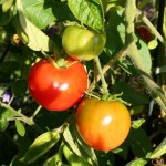 Tomatoes! In Humboldt County! Grafted Tomatoes Beat the Competition