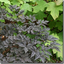 Post image for Dark Designs: Black Foliage in the Garden