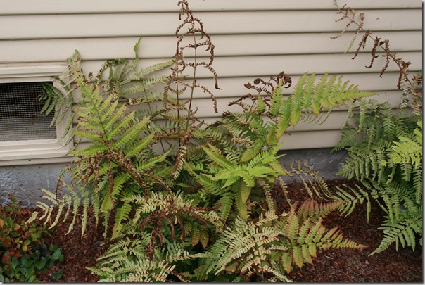 brown leaves on autumn fern dryopteris erythrosora