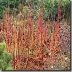 Cornus midwinter Fire