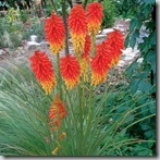 Kniphofia_Papaya_Popsicle_1b