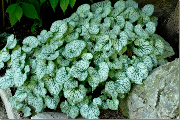 Jack Frost Brunnera 2012 Perennial of the Year
