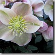 New Hellebore Flowers Hold Their Heads High