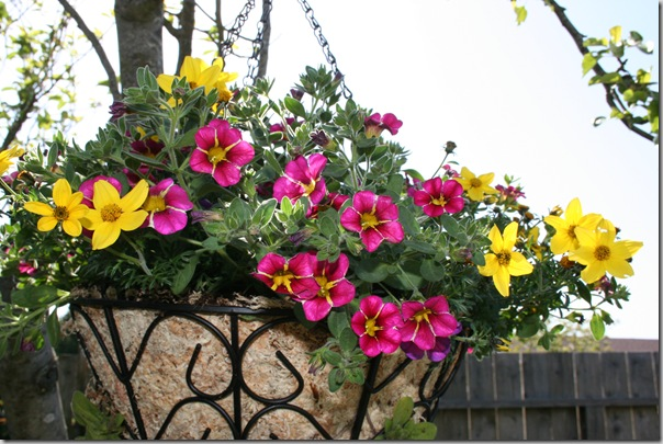 Post image for How to Plant a Hanging Basket With an Angel Moss Liner