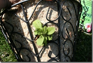 how to plant a hanging basket (3)