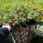 How to Plant a Hanging Basket With an Angel Moss Liner