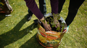 Planting-tomatoes-in-a-potting-soil-bag.png