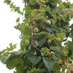 Grow Your Own Microbrew! How to Grow Hops
