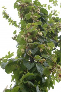 how-to-grow-hops.jpg