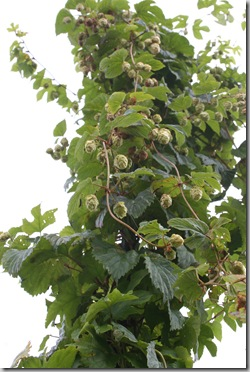 Post image for Grow Your Own Microbrew! How to Grow Hops