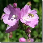 Native sweat bee