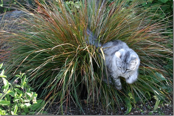 cats love ornamental grasses (1)