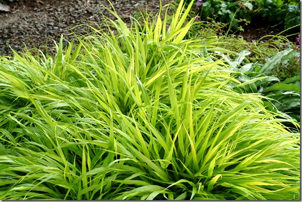 Hakonochloa 'All Gold' - Photo