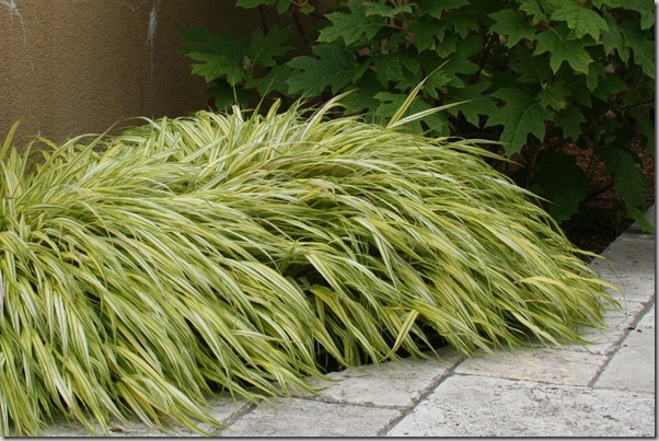 Grassy favorites new and old north coast gardening for Japanese ornamental grass varieties