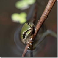 frogs-invite-contemplation_thumb.jpg