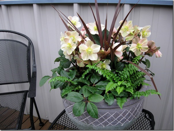 Helleborus-Cinnamon-Snow-makes-a-great-gift.-Image-courtesy-Skagit-Gardens_thumb.jpg