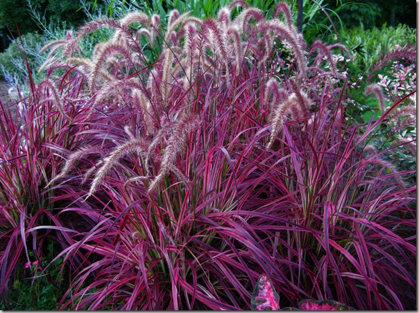 Fabulous fountain grasses temperennial new varieties for Ornamental grass with purple plumes