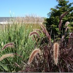 "Fabulous Fountain Grasses: ""Temperennial"" New Varieties"
