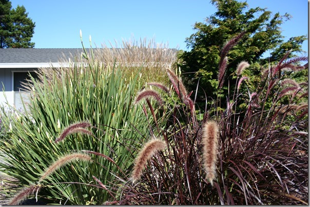 Fabulous fountain grasses!