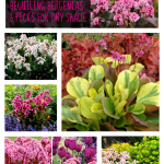 Beguiling Bergenias: 5 Varieties for Dry Shade