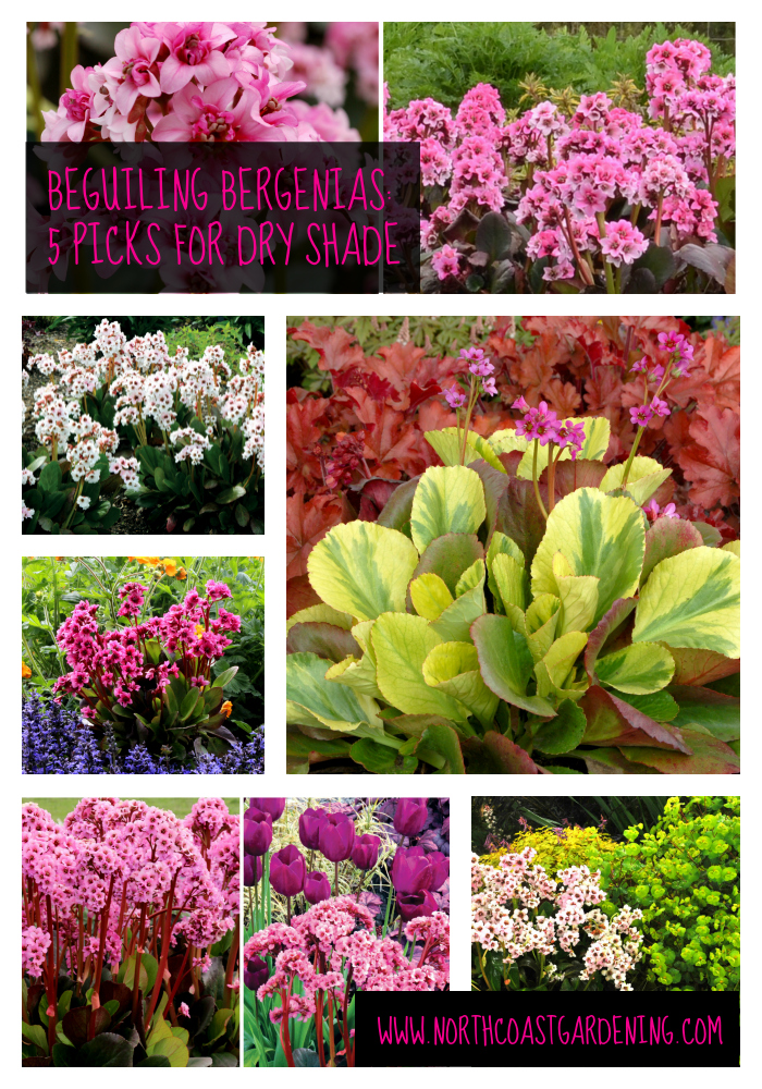 Bergenia - a fabulous deer-resistant, rabbit-resistant perennial for dry shade. Check out these five varieties via www.NorthCoastGardening.com.