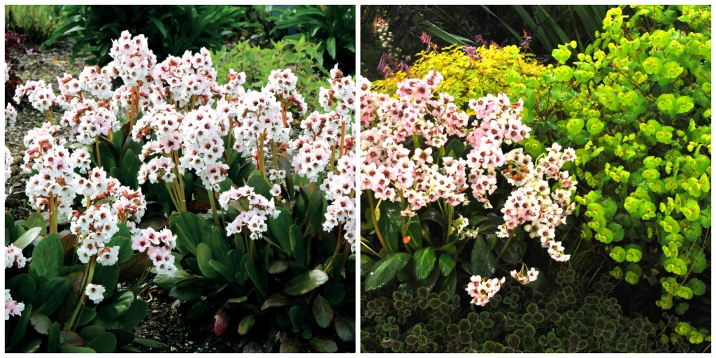 Bergenia Dragonfly 'Angel Kiss