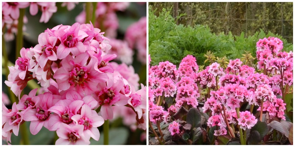 Bergenia Dragonfly 'Sakura' - learn more at www.northcoastgardening.com.