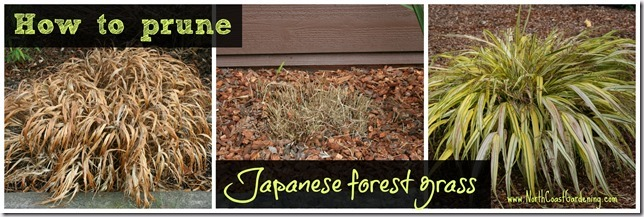 How-to-prune-Japanese-forest-grass-Hakonechloa.jpg