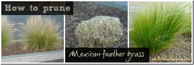 How-to-prune-Mexican-feather-grass-Nasella-tenuissima.jpg