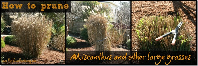 How-to-prune-Miscanthus-and-other-large-grasses.jpg