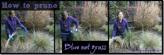 How-to-prune-blue-oat-grass.jpg