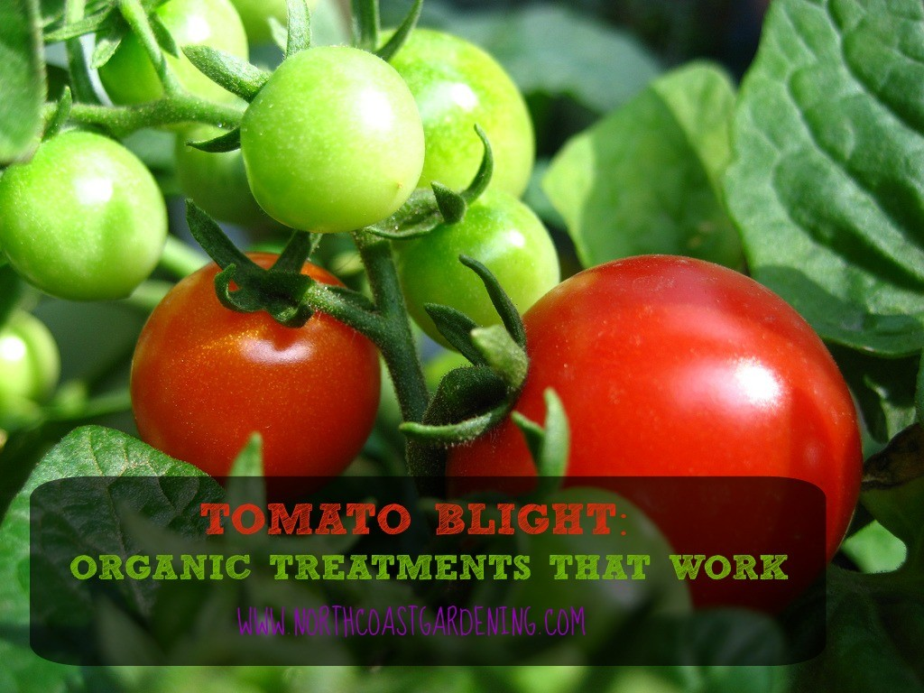 TOMATO BLIGHT - ORGANIC TREATMENTS THAT WORK