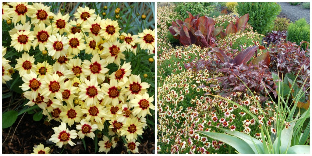 Coreopsis 'Autumn Blush