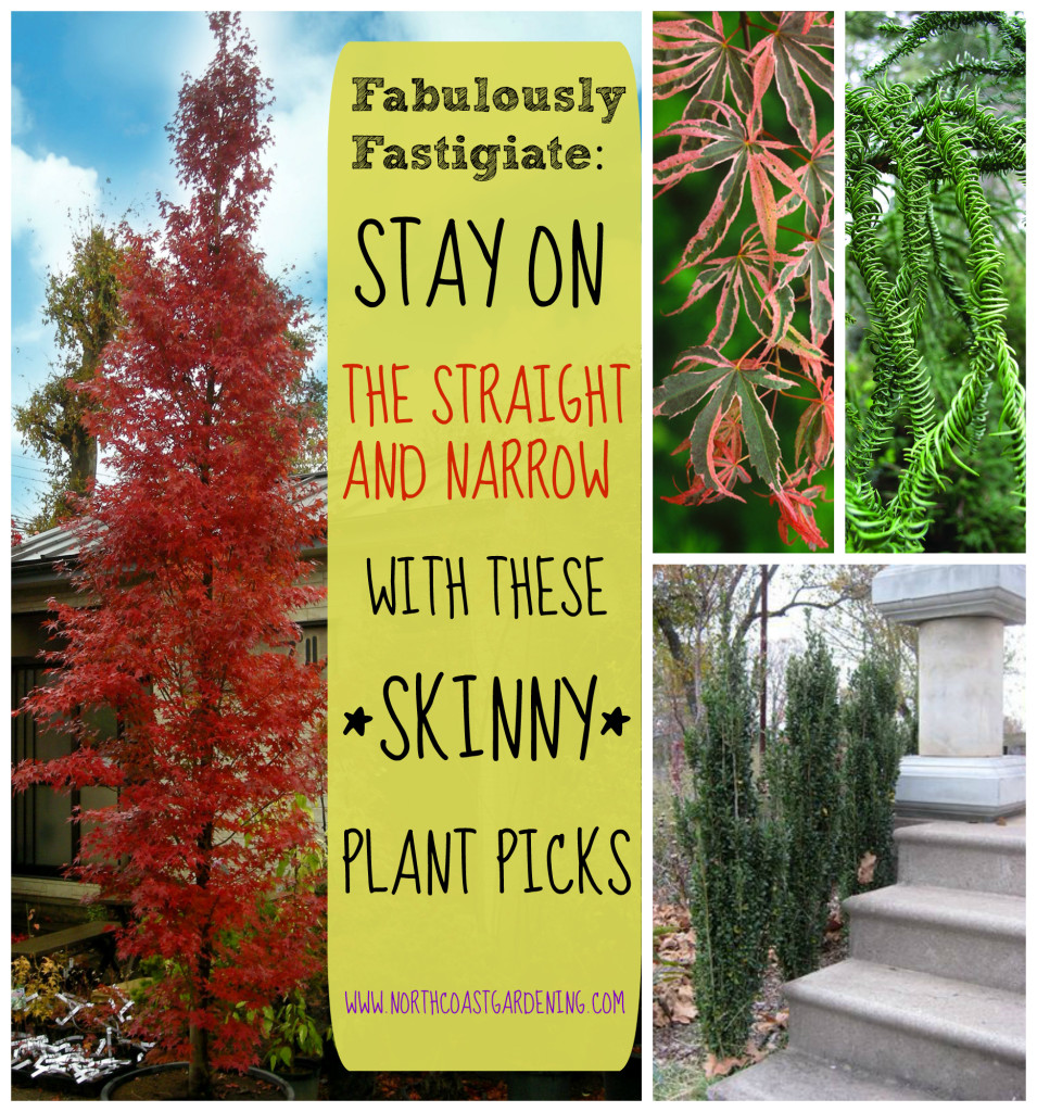 Fabulously Fastigiate Narrow Plants for Skinny Spaces