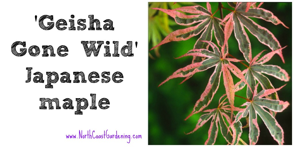 Japanese maple Geisha Gone Wild, a narrow tree for small spaces