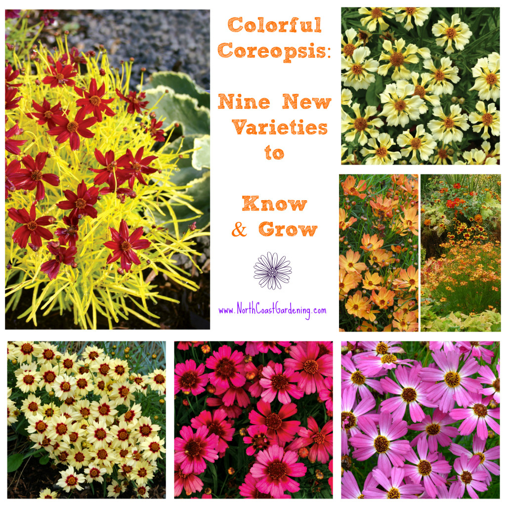 New Coreopsis varieties to know and grow