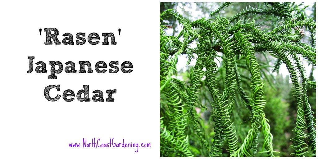 Rasen Japanese cedar - a tall and narrow shrub