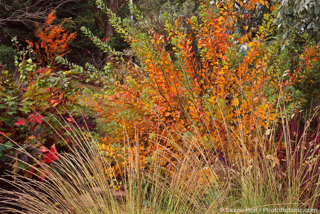 Cotinus coggyria 'Pink Champagne' shrub in California autumn garden with Muhlenbergia rigens grass
