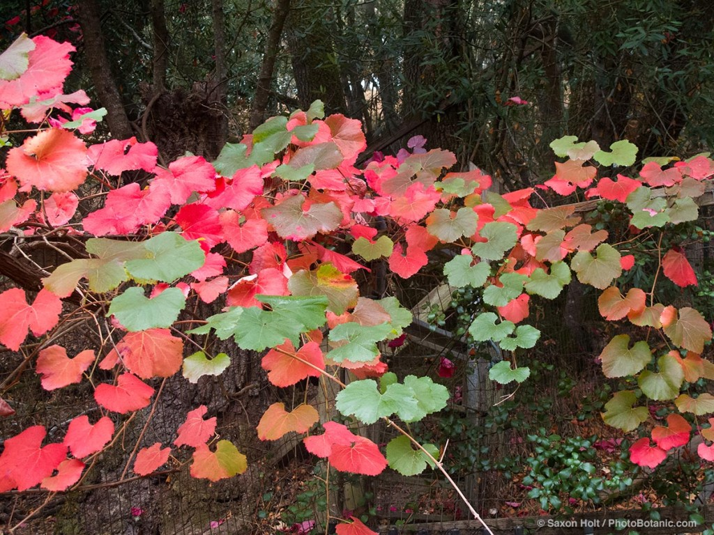 Roger's Red grape vine leaves show autumn color.
