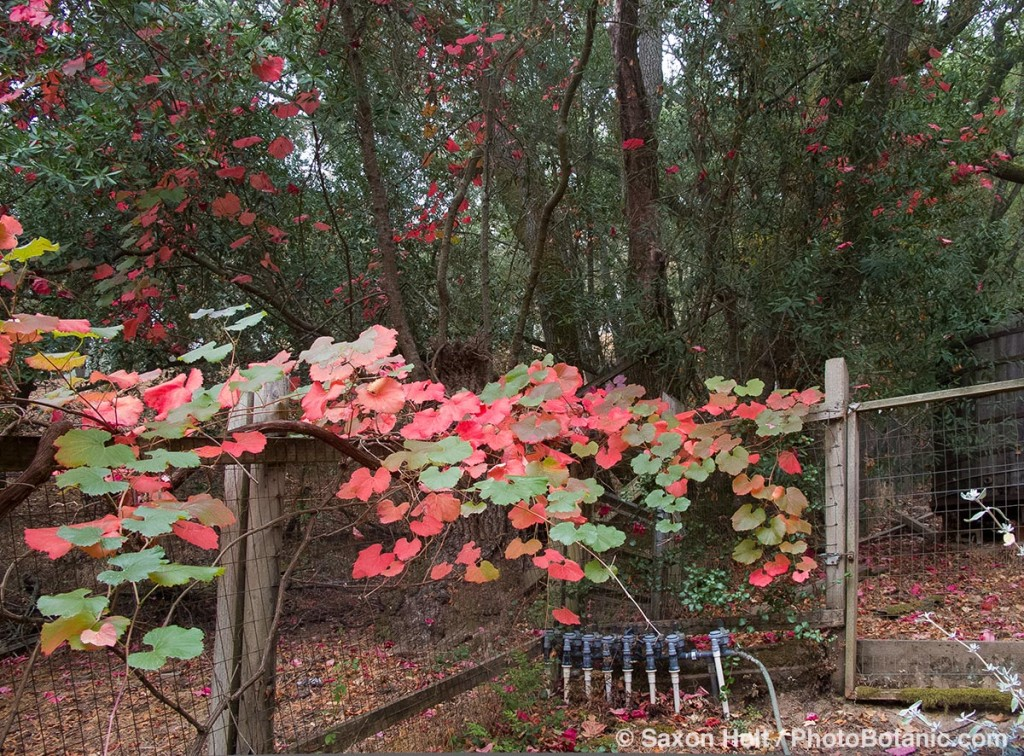 Roger's Red grape vine leaves show autumn color on my back fence