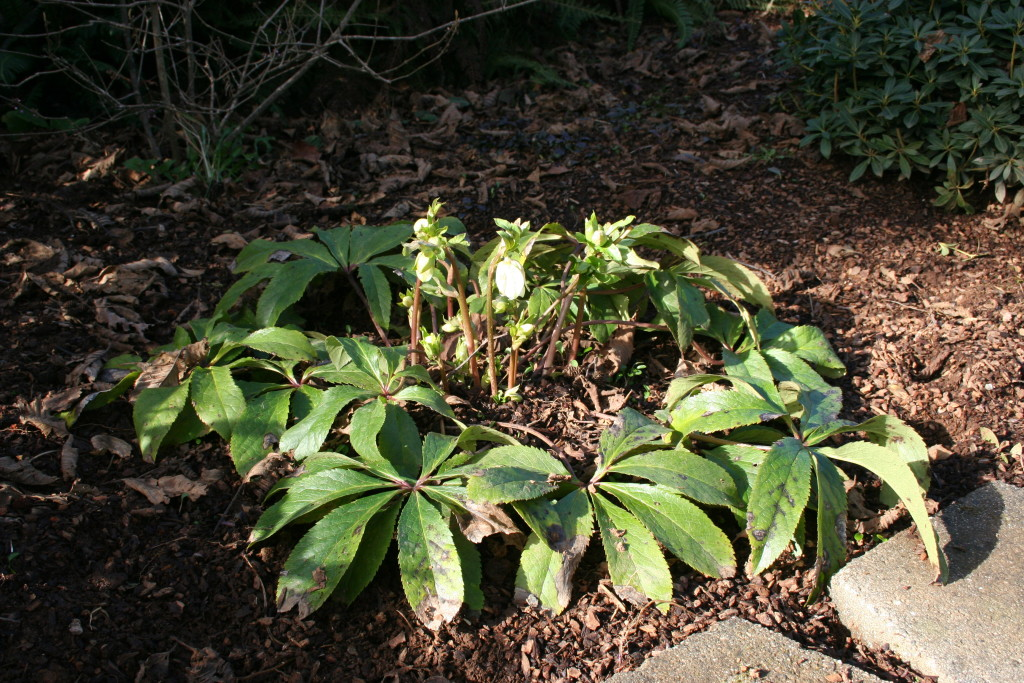 Pruning evergreen perennials - A simple guide to how and when from NorthCoastGardening.com