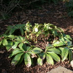Pruning evergreen perennials A simple guide to how and when from NorthCoastGardening.com