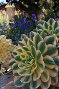Succulents evoke the sea