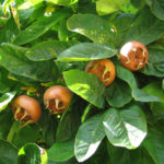 Medieval Medlars: Get to Know and Grow this Unusual Fruit